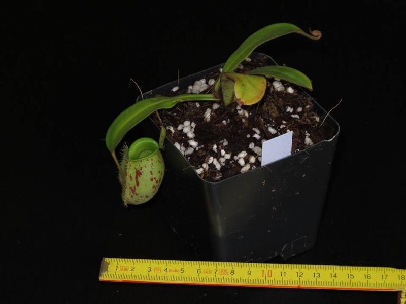 Nepenthes lowland à vendre  - VENDUES - Amp_fo10