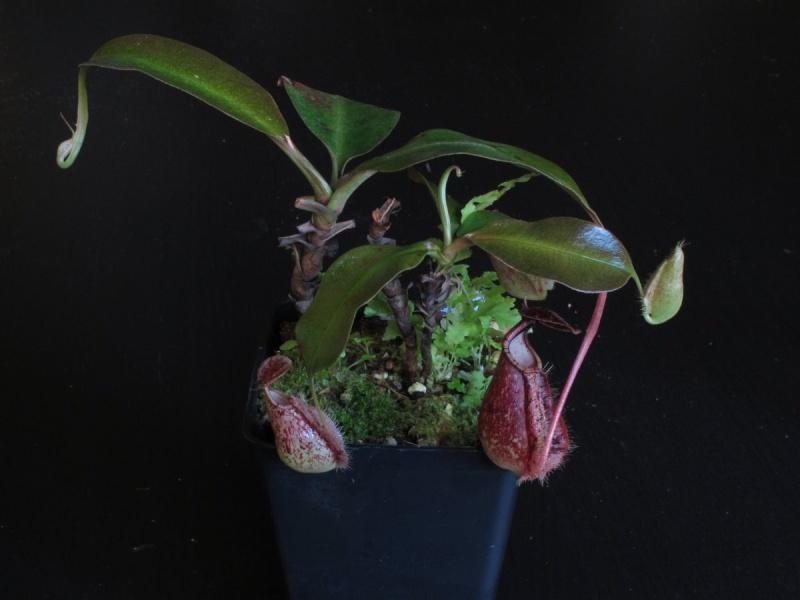 Nepenthes lowland à vendre  - VENDUES - Img_5210