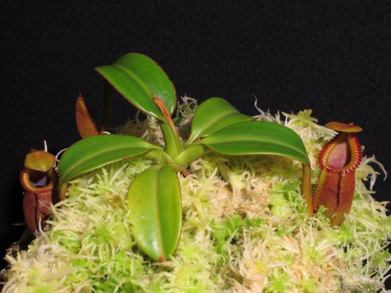 macrophylla Macro10