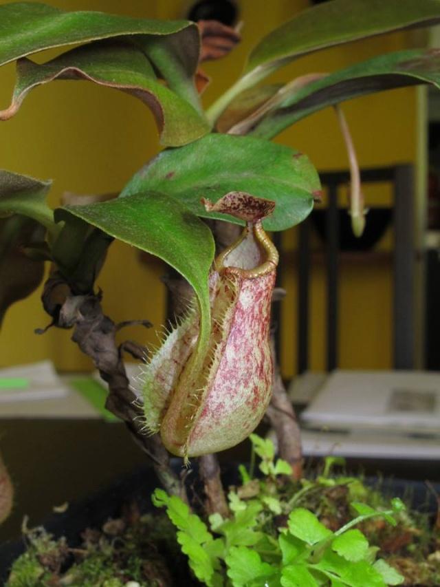 Nepenthes lowland à vendre  - VENDUES - Raff_f11