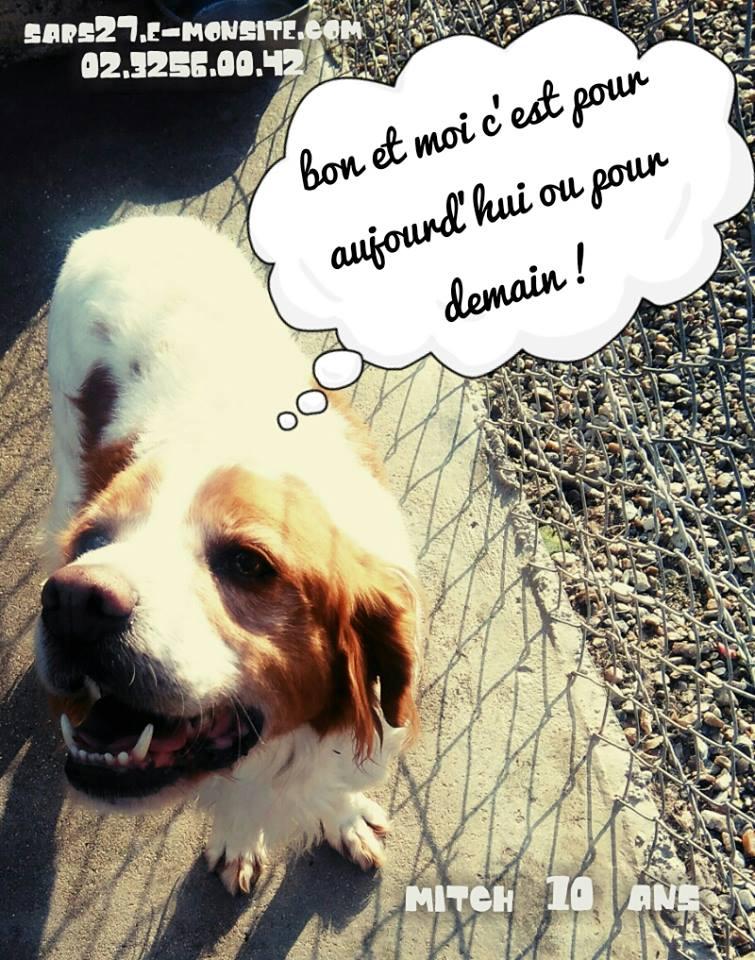 MITCH - epagneul breton 15 ans (10 ans de refuge)  - Refuge Esperance à Appeville (27) 11081410