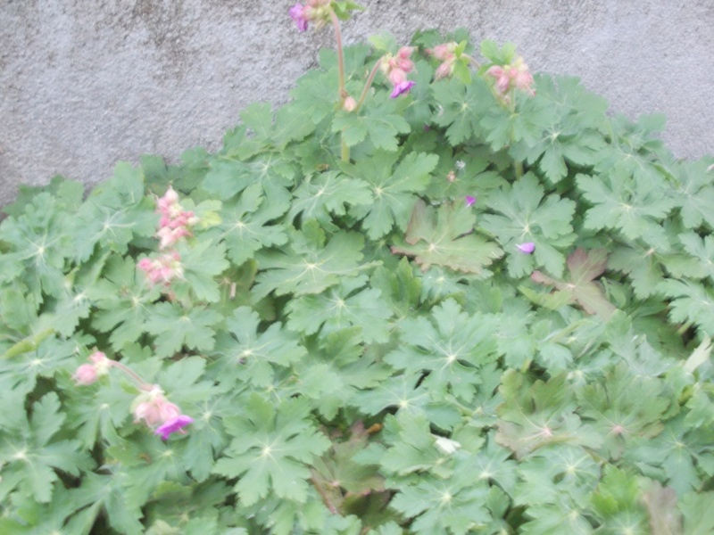 Geranium vivace  - Page 2 Dscn4215