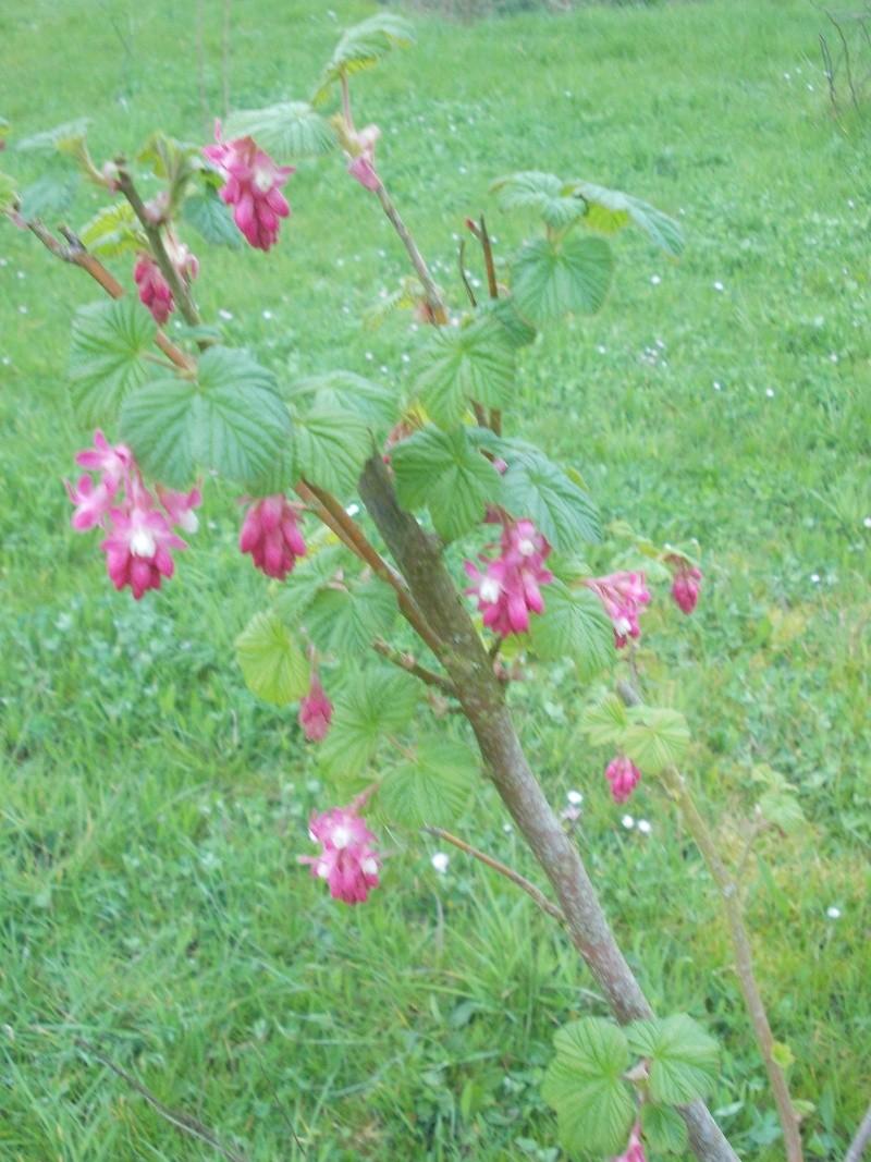 Groseiller a fleurs (Ribes sanguineum) - Page 3 Dscn4224