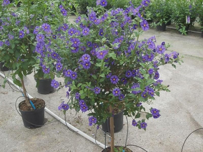Solanum rantonetti - Page 5 Dscn5039