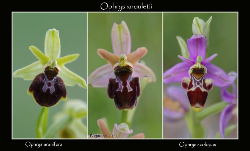 Ophrys aranifera x scolopax (x nouletii) 22_oph10