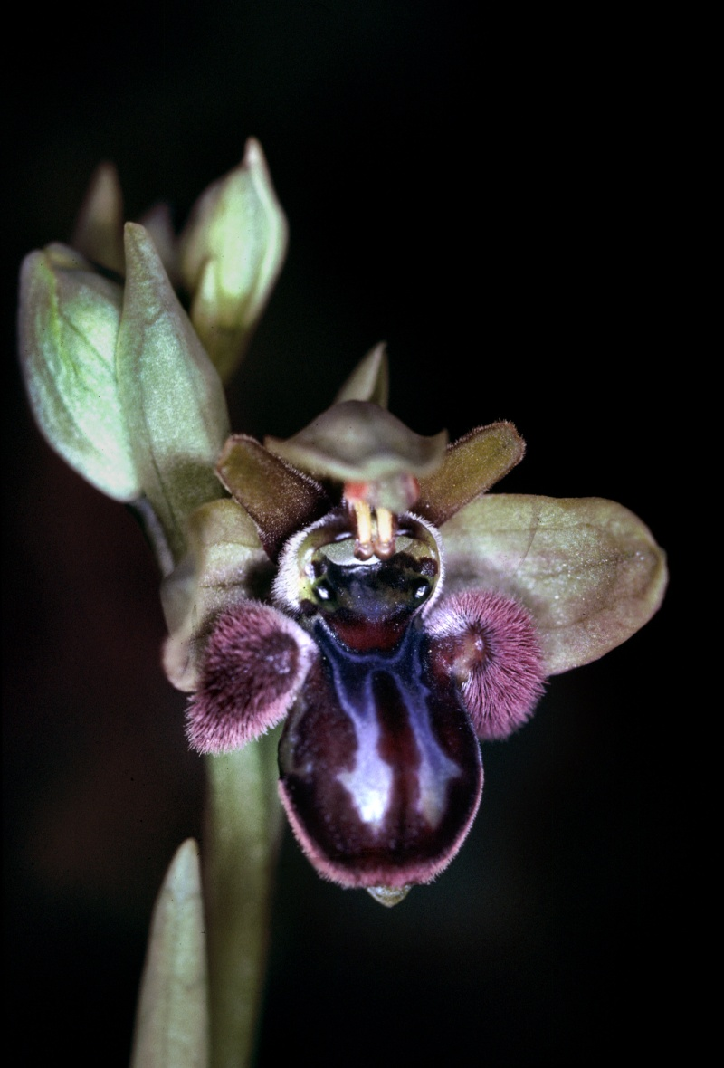 Ophrys bombyliflora x incubacea Ophrys10