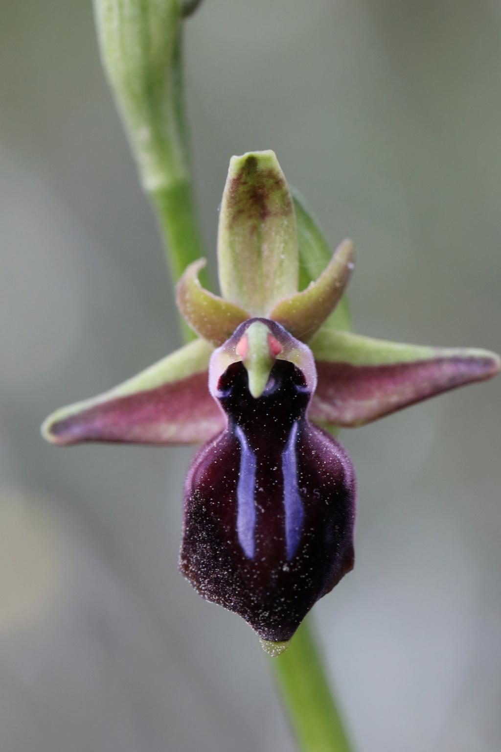 Ophrys Crétoise  Ophrys15