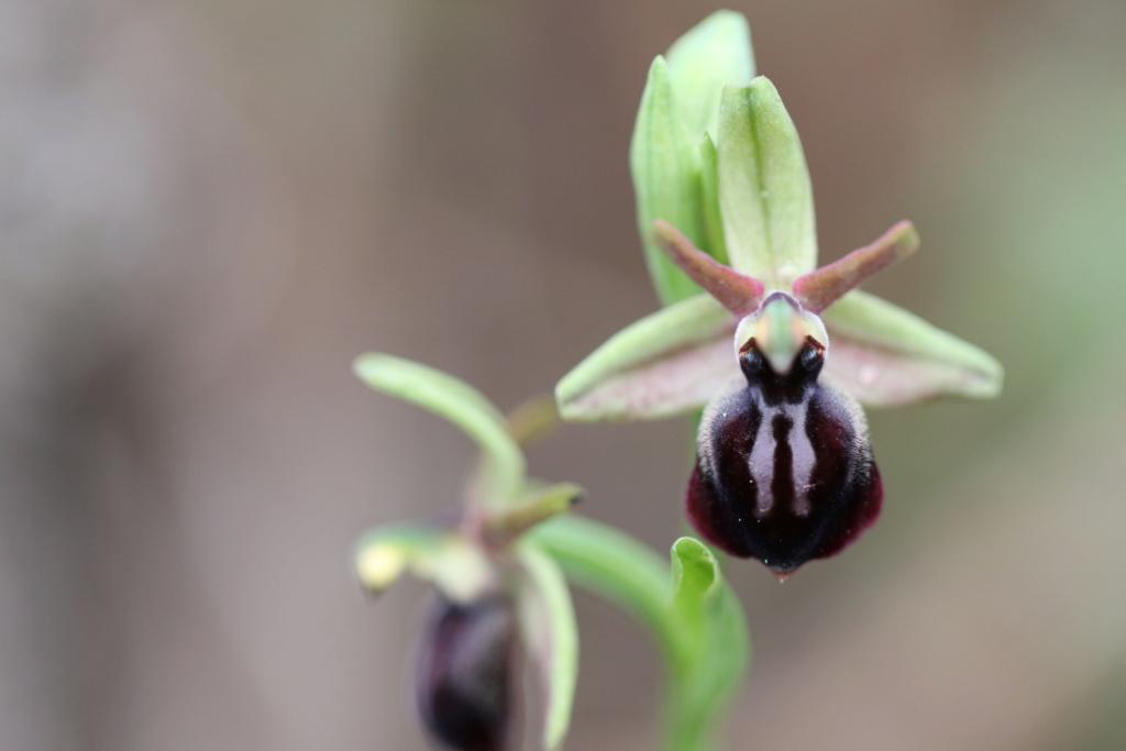 Ophrys Crétoise  Ophrys17