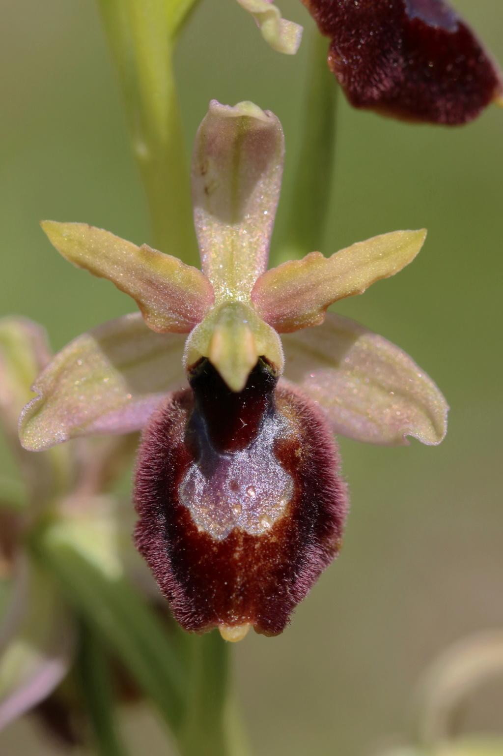 Hybride St Genis Ophrys20