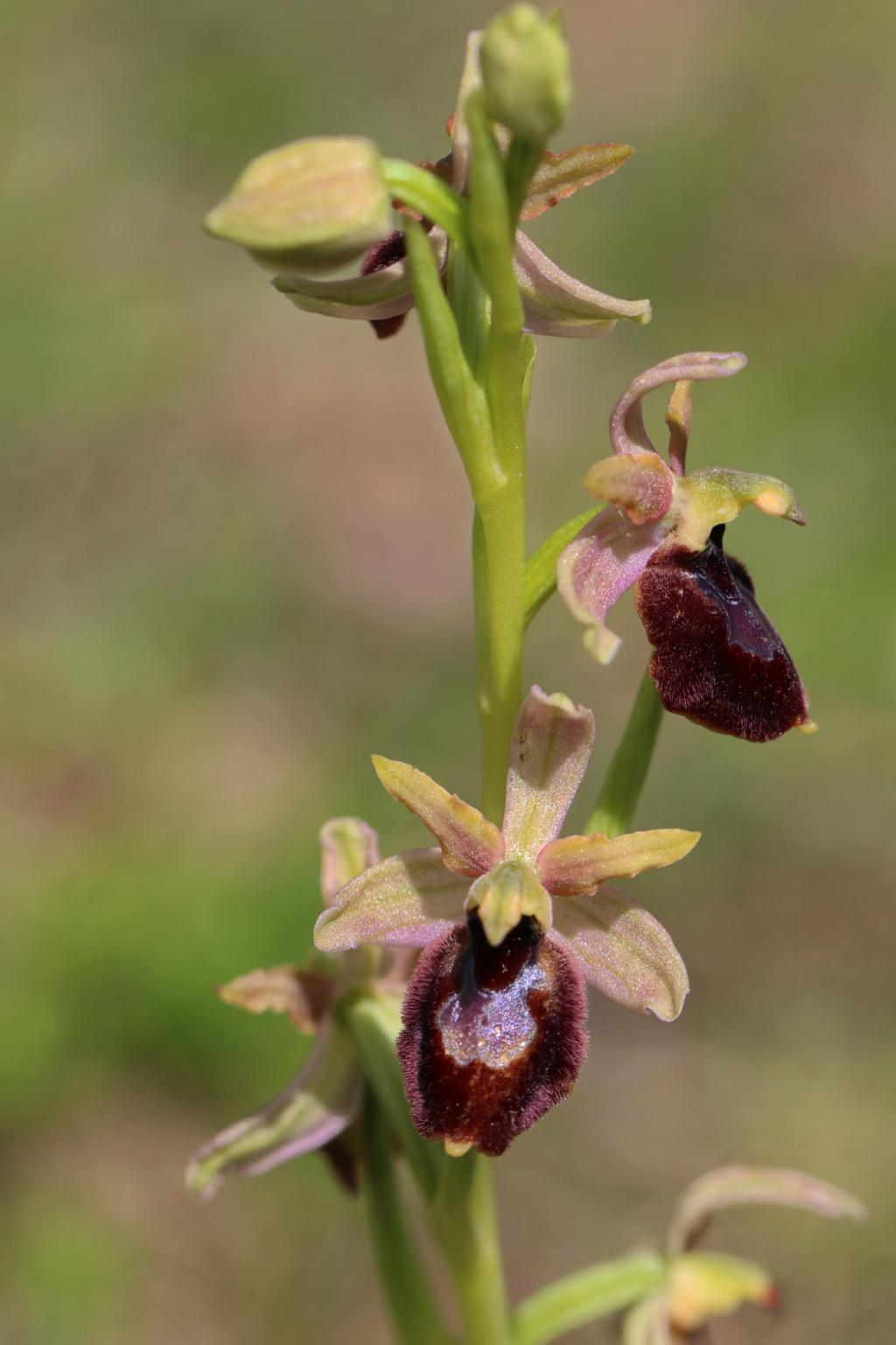 Hybride St Genis Ophrys21