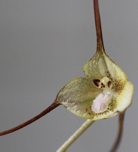 dracula lemurella Dra33310