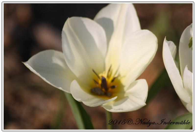 Les tulipes - Page 2 Cadrer16