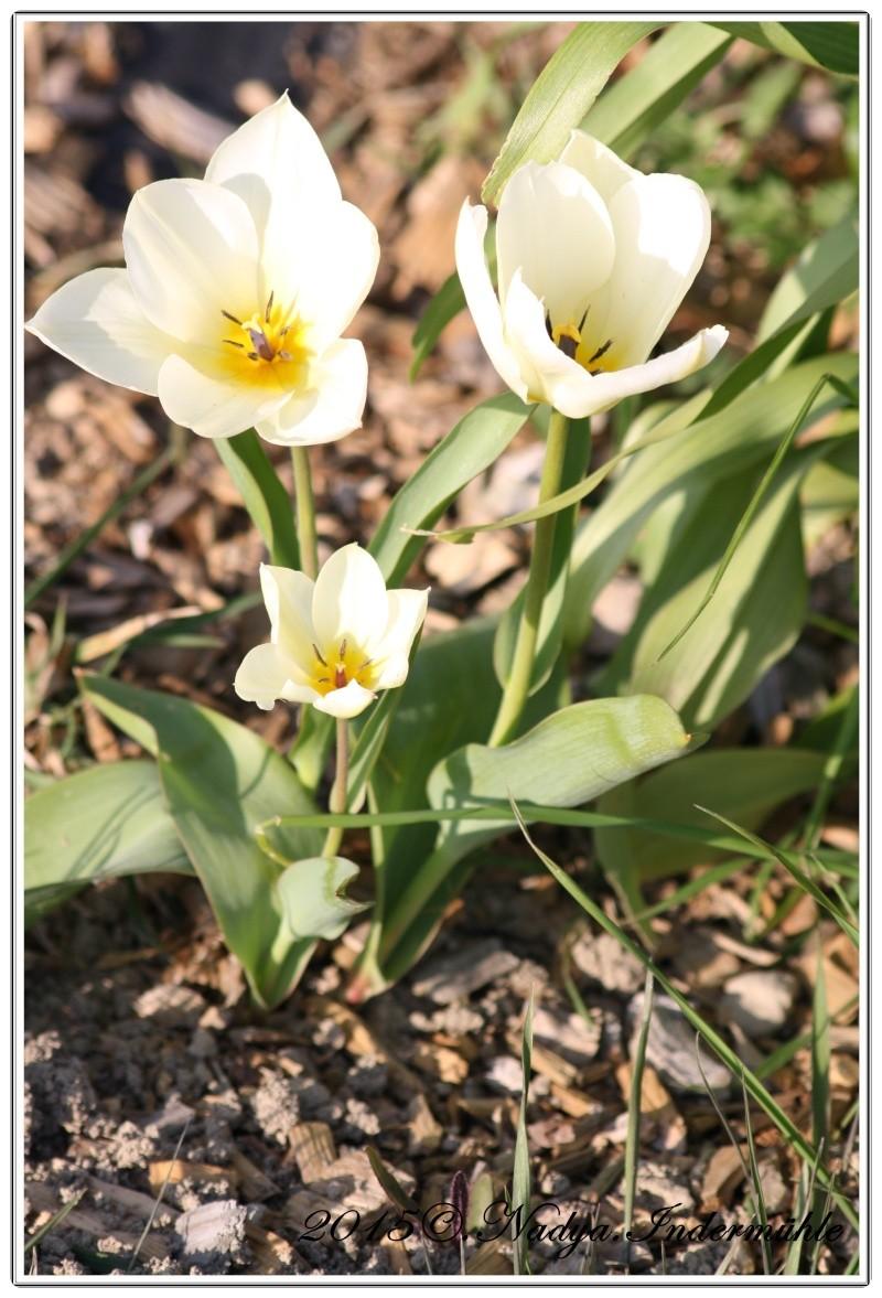 Les tulipes - Page 2 Cadrer18