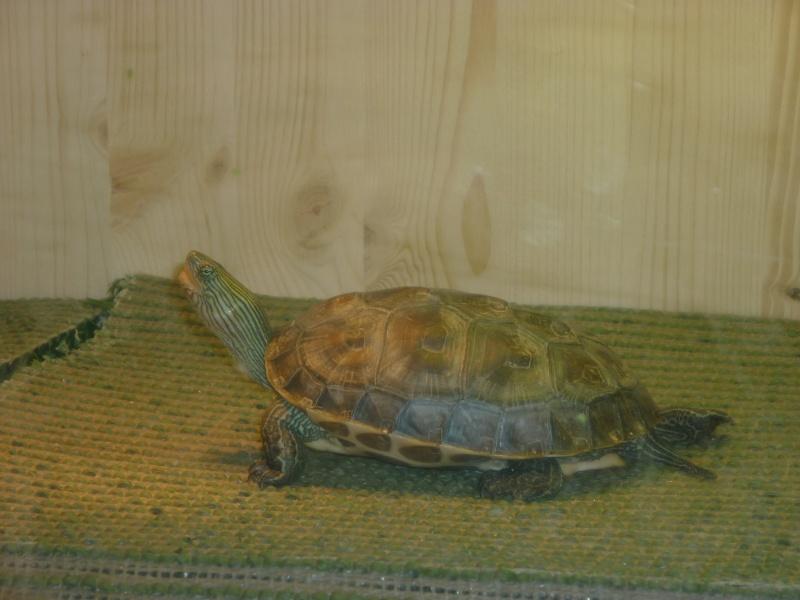 Donne tortue mauremys sinensis Hanoi_11