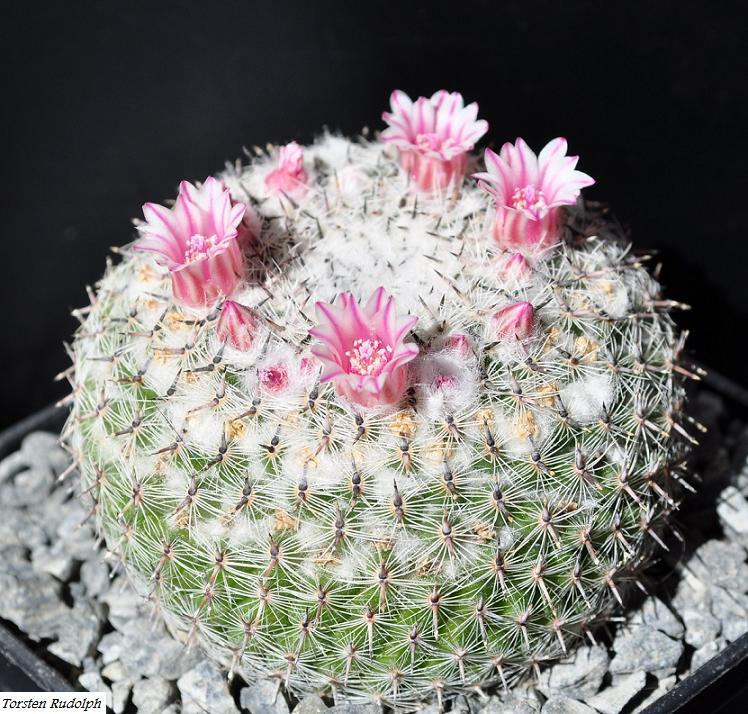 Mammillaria brauneana Mammil10
