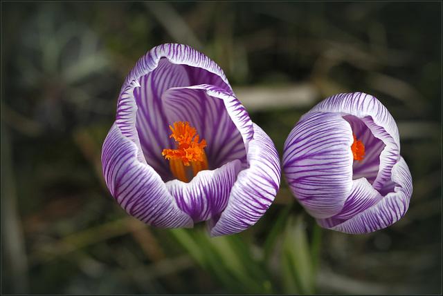 """Concours """"Bulbeuse à floraison printanière"""" - Les votes 30702410"""