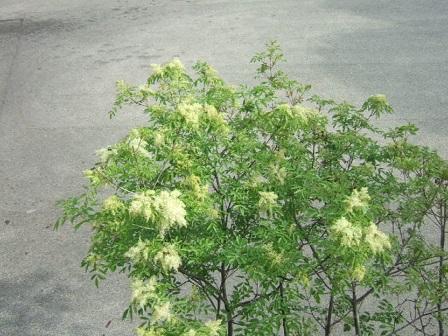 fraxinus - Fraxinus ornus - frêne à fleurs, orne Dscf0110