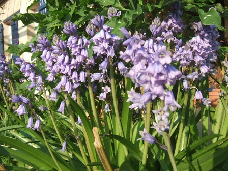 Hyacinthoides hispanica - jacinthe d'Espagne Dscf0310