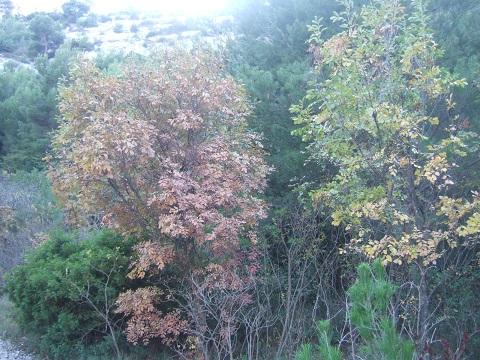 fraxinus - Fraxinus ornus - frêne à fleurs, orne Dscf4210