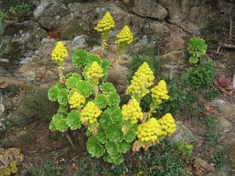 Aeonium arboreum Dscf5334