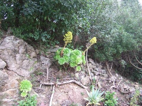 Aeonium arboreum Dscf5335