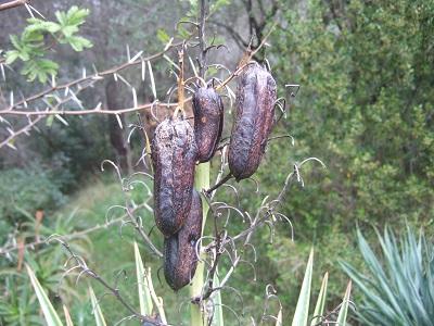 Yucca aloifolia Dscf5412