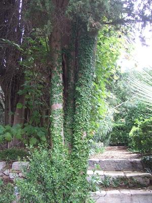 Ficus pumila - Page 4 Dscf5421