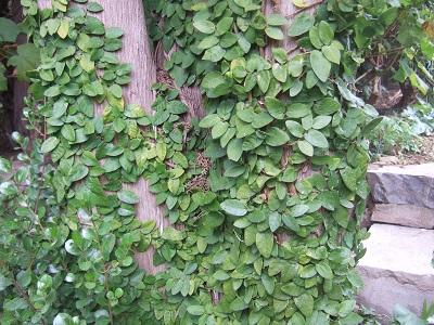 Ficus pumila - Page 4 Dscf5422