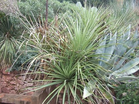 Puya chilensis Dscf5431
