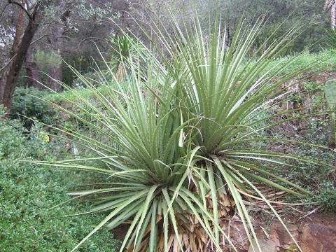Puya chilensis Dscf5432