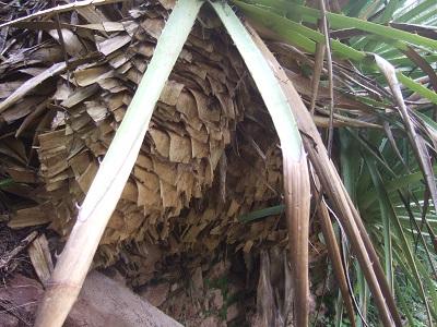Puya chilensis Dscf5434