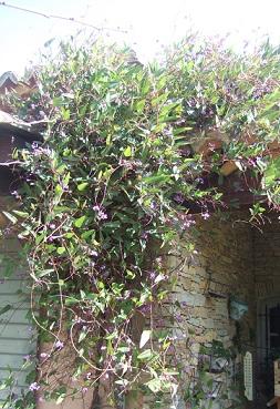 Hardenbergia violacea Dscf5512
