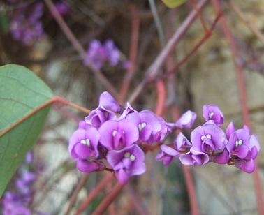 Hardenbergia violacea Dscf5513