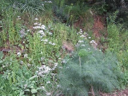 allium neapolitanum - Allium neapolitanum - ail de Naples Dscf5520