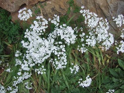 allium neapolitanum - Allium neapolitanum - ail de Naples Dscf5521