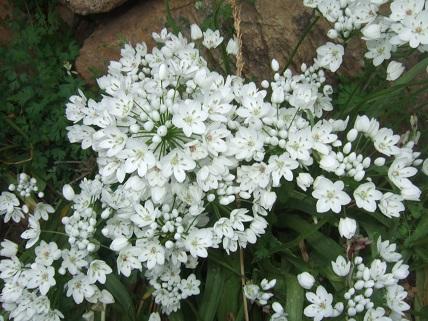 allium neapolitanum - Allium neapolitanum - ail de Naples Dscf5522