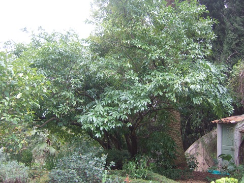 Cocculus laurifolius Dscf5527
