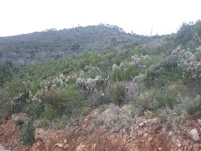 Simethis mattiazzii - phalangère à feuilles planes Dscf5531