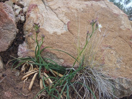 Simethis mattiazzii - phalangère à feuilles planes Dscf5541