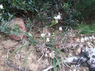 Simethis mattiazzii - phalangère à feuilles planes Dscf5542