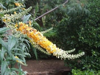 buddleia - Buddleja madagacariensis - buddléia de Madagascar Dscf5546