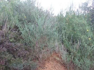 coronilla - Coronilla juncea - coronille à branches de jonc  Dscf5552