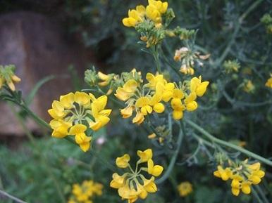 coronilla - Coronilla juncea - coronille à branches de jonc  Dscf5554