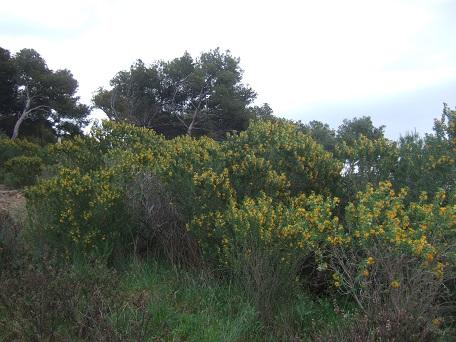 Medicago arborea - luzerne arborescente Dscf5559
