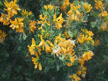 Medicago arborea - luzerne arborescente Dscf5561