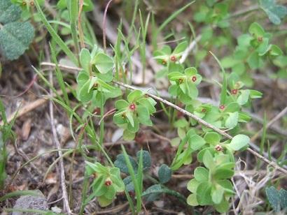 Euphorbia peplus - euphorbe des jardiniers Dscf5724