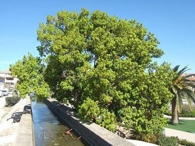 Cinnamomum camphora - camphrier - Page 2 Dscf5727