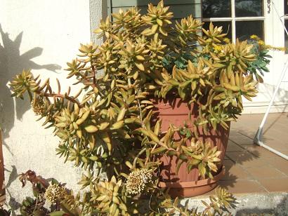 Sedum adolphii (= Sedum nussbaumerianum) Dscf5730