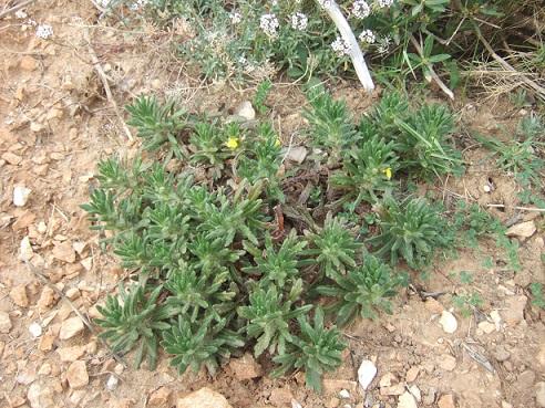 Ajuga iva subsp. pseudoiva - bugle fausse ivette Dscf5736