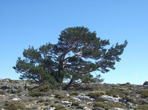 Pinus sylvestris - pin sylvestre Dscf5816